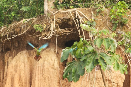 Location: Macaw Clay Lick, Rio Heath, Tambopata Rainforest, Bolivia