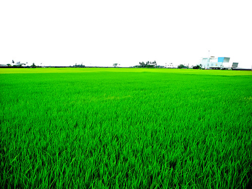 East Coast Rice Paddy