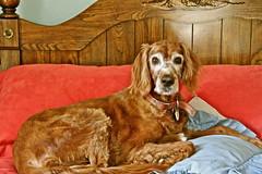 irish setter(0.0), dog breed(1.0), animal(1.0), dog(1.0), pet(1.0), mammal(1.0), field spaniel(1.0), setter(1.0), english cocker spaniel(1.0), spaniel(1.0),