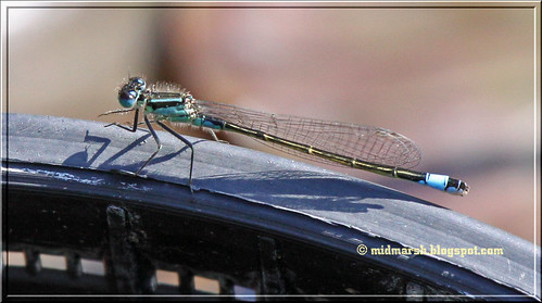 Blue-tailed Damselfly 3