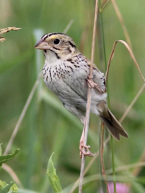 Henslow's Sparrow (Ammodramus_ henslowii ) 2-20120529