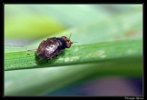 Camarota curvipennis