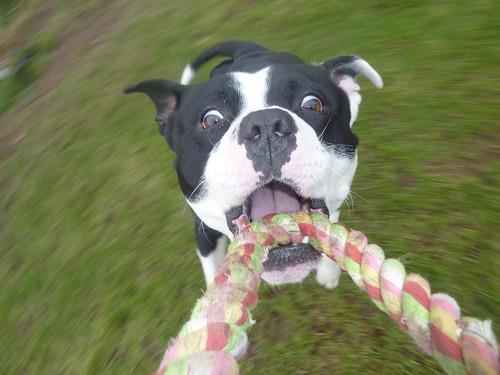 [フリー画像素材] 動物 1, 犬・イヌ, スタッフォードシャー・ブル・テリア ID:201206091600