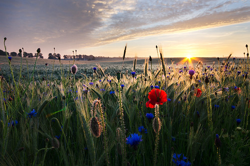 Wheat, poppies and cornflowers vol.1