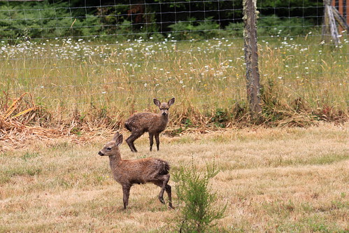 Two fawns on my lawn