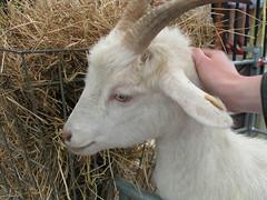 sheeps(0.0), sheep(0.0), pasture(0.0), animal(1.0), mammal(1.0), horn(1.0), goats(1.0), domestic goat(1.0), fauna(1.0), goat-antelope(1.0),