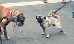 street dog(0.0), conformation show(0.0), animal(1.0), dog(1.0), pet(1.0), mammal(1.0), pug(1.0),
