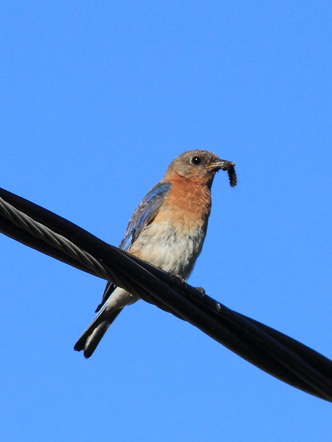 Eastern Bluebird 20120622