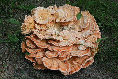 Chicken of the Woods - Wild Mushroom - Minnesota June 2012
