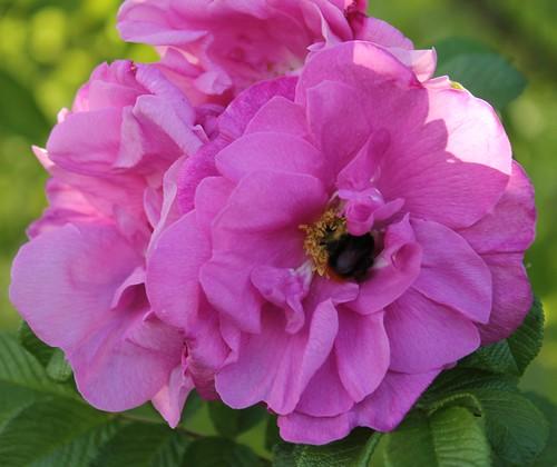 Kwiat Jakiś, i plec pszczoly by xpisto1