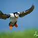 Puffin Landing by TheApertureMan