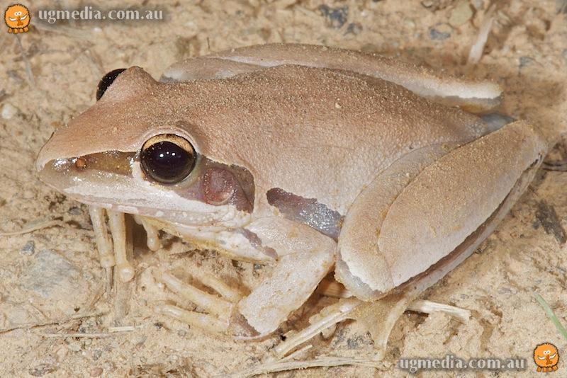 Bridled frog (Litoria nigrofrenata)