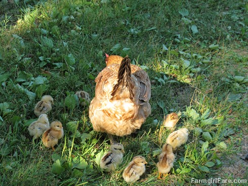 (20) Lokey and her 10 chicks - FarmgirlFare.com