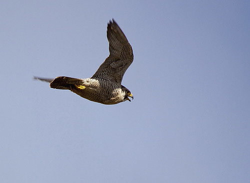 peregrine flight 6