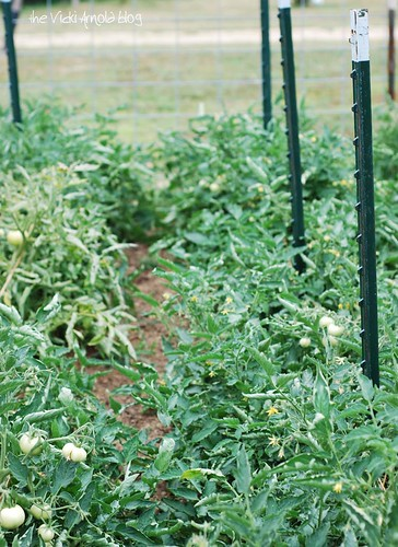 Tomato Plants All in a Row