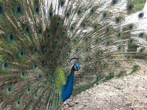 1peacock valerie gillan antioch