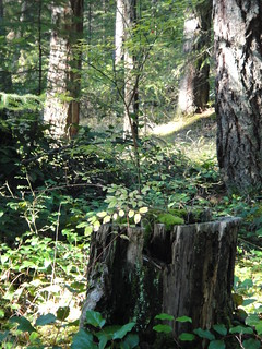 即便樹木砍伐下來,留下的樹頭還是可以提供其它植物與動物生長所需 。照片提供:台灣環境資訊協會