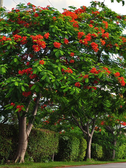 Royal Poinciana (2)