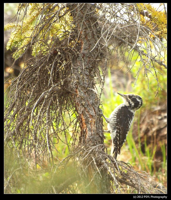 Possibly an American Three-toed woodpecker (Picoides dorsalis)