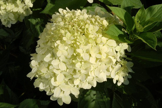 rispen hortensie hydrangea paniculata 39 limelight. Black Bedroom Furniture Sets. Home Design Ideas