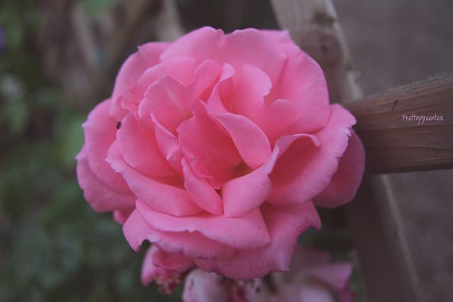 prettygreentea rose