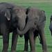 Asian Elephants, Minneriya (Thomas Mills)