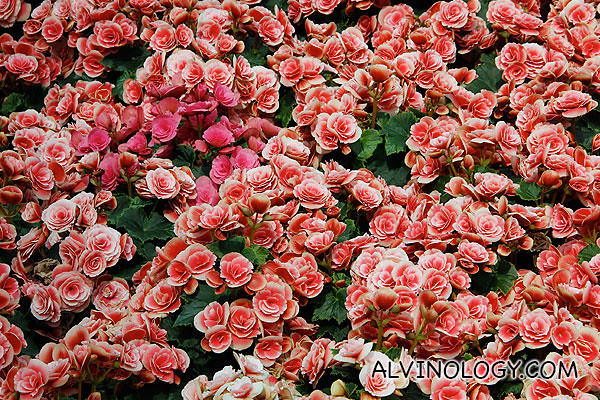 Beautiful bed of roses