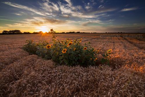 california sunset sky sun flower clouds canon landscape wheat ag sunflower sacramento agriculture davis yolo waynetilcock