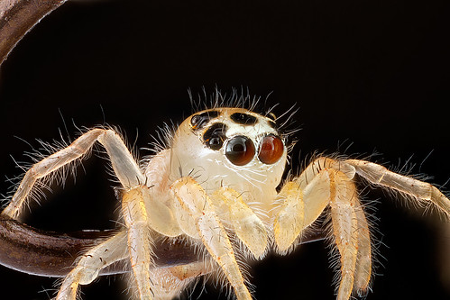 Jumping-Spider,on-fish-hook-eyes_2012-08-02-16.13.51-ZS-PMax