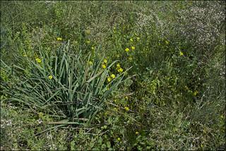 Oxalis pes-caprae, Iris Hill IZE_13553