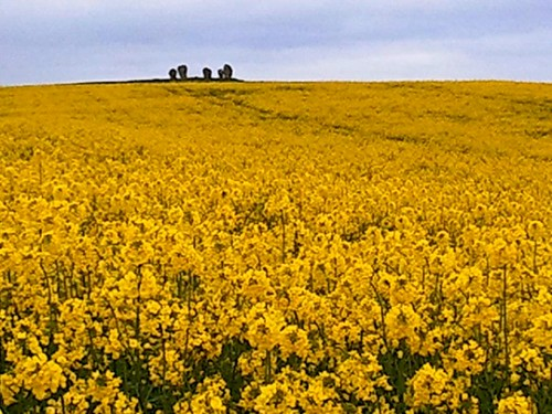 Duddo Stone Circle surrounded by rapeseed fields