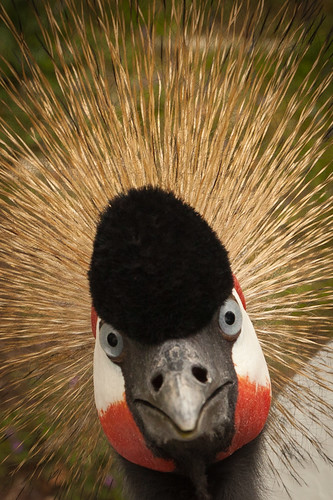 無料写真素材, 動物 , 鶴・ツル, ホオジロカンムリヅル