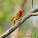 Summer Tanager with tasty morsel...