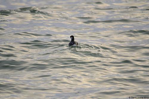 bird dove nantucket cbc seabird auk dovekie