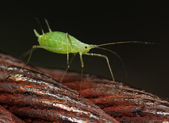 Aphid8215