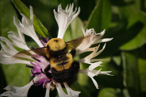 Busy Bee by samjp4 (Sandy)