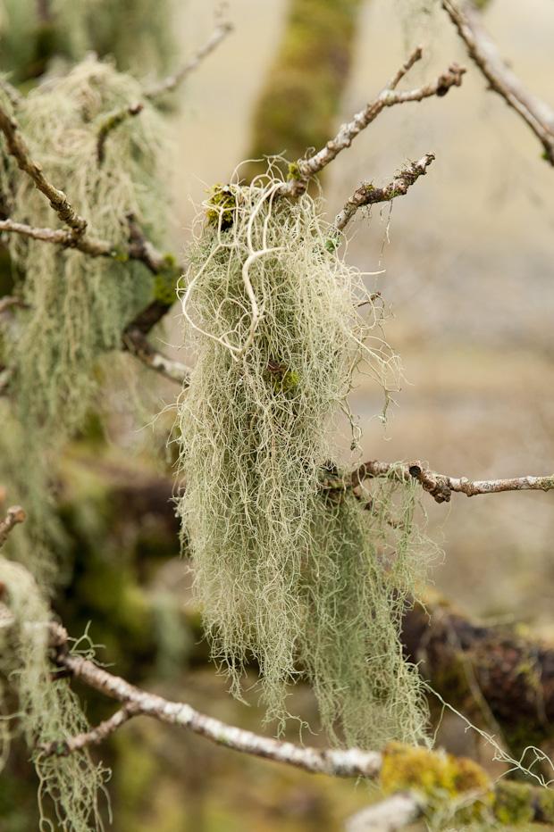 Darmoor Beard Lichen