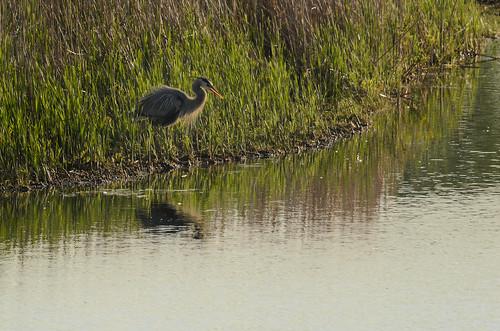 Heron-8039_.jpg
