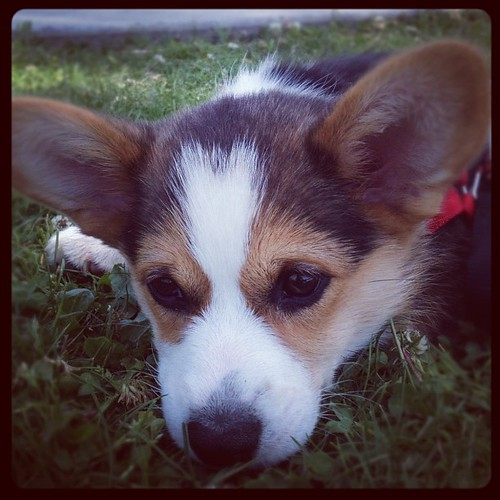 We go to the park and all she does is lay here... huh. #corgi #puppy #corgistagram