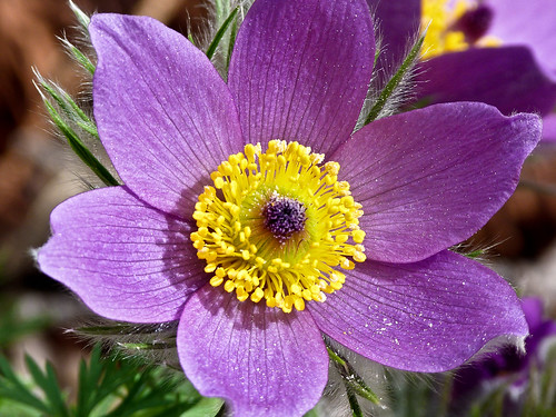 European Pasque Flower