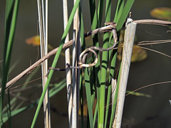 Reeds tangled