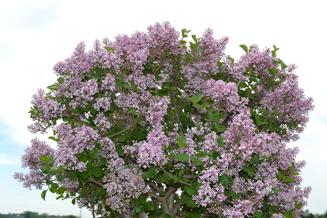 Dwarf Korean Lilac Tree Flickr Photo Sharing