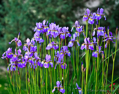 iris flower nature canon display fantasticnature flowersarebeautiful wonderfulworldofflowers
