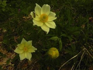 Pulsatilla alpina ssp. apiifolia= Pulsatille soufrée