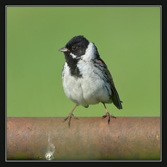 Reed Bunting (m)