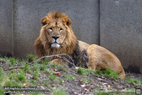 Panthera leo persica - photo#13