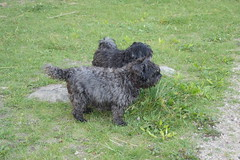 miniature poodle(0.0), pumi(0.0), lagotto romagnolo(0.0), glen of imaal terrier(0.0), poodle crossbreed(0.0), havanese(0.0), cairn terrier(0.0), dog breed(1.0), animal(1.0), dog(1.0), schnoodle(1.0), pet(1.0), tibetan terrier(1.0), bouvier des flandres(1.0), cã£o da serra de aires(1.0), portuguese water dog(1.0), barbet(1.0), mudi(1.0), carnivoran(1.0), terrier(1.0),