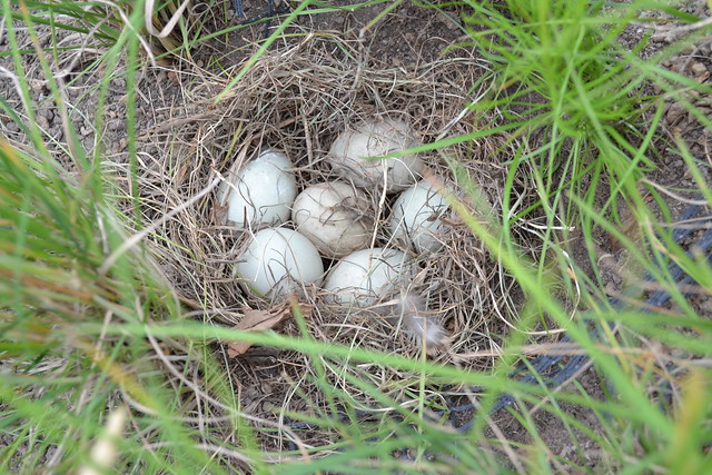 A clutch of duck eggs on the green roof of BBG's Visitor Center.  Photo by Barry Rogers.