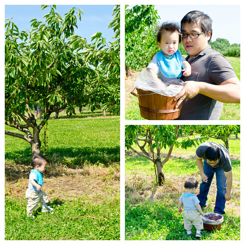 Cherry Picking at Milburn Orchards