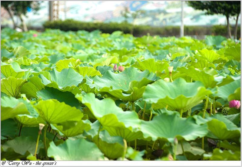 2012-06-24 三重疏洪荷花公園-5